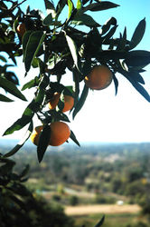 Side_Hill_Citrus_(36).JPG