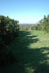 Side_Hill_Citrus_(8).JPG