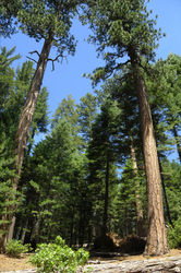 Big_Trees_Grove_(24).jpg