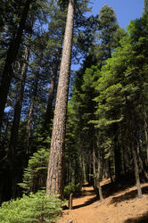 Big_Trees_Grove_(40).jpg